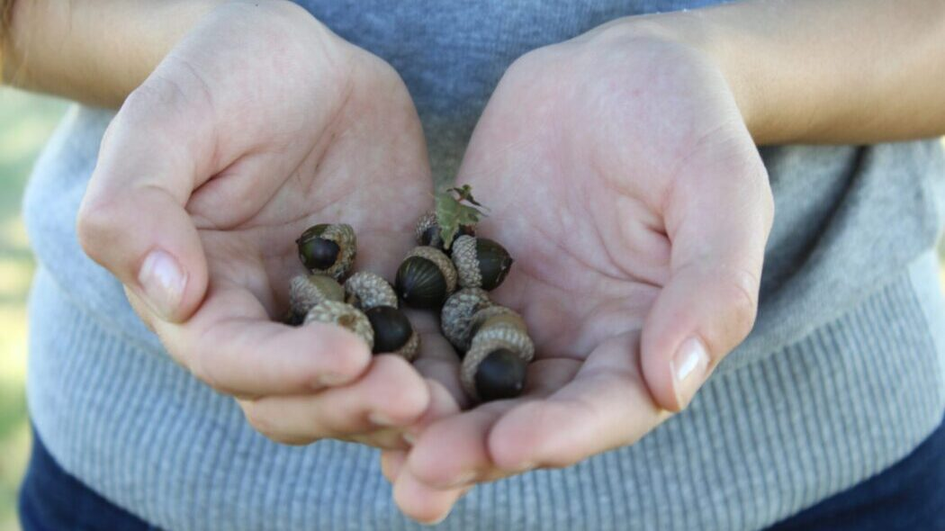 Hands holding a bunch of acorns