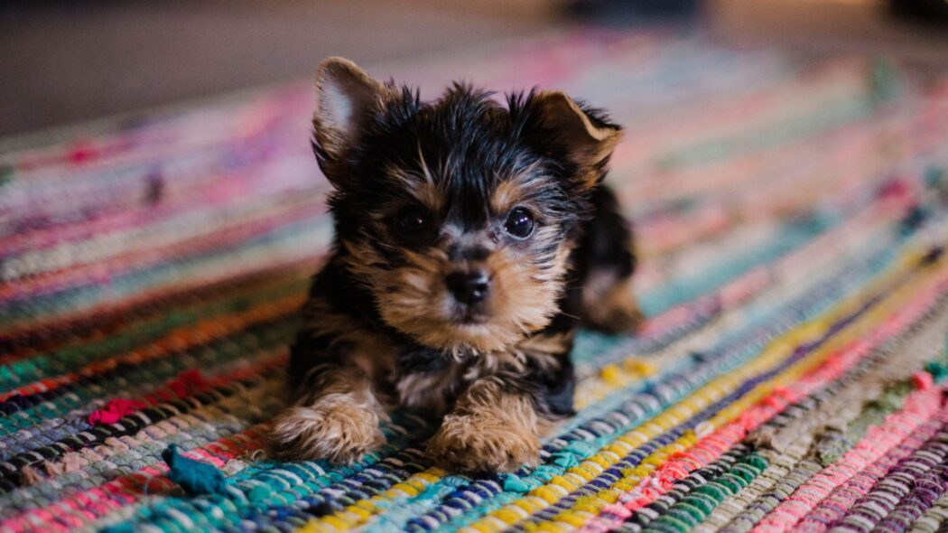 A tiny dog on a multi-colored rug