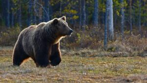 A large grizzly bear walking through a field